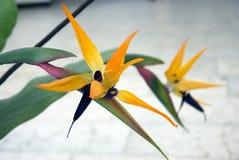 Pájaro del paraíso Fotografía de archivo libre de regalías