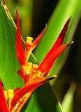 Pájaro del paraíso Foto de archivo libre de regalías
