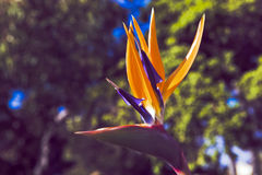 Pájaro del paraíso--Reginae del Strelitzia imagen de archivo