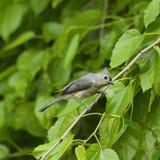 Pájaro del paro copetudo en el miembro Fotos de archivo libres de regalías