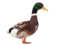 Pájaro del pato salvaje Imagenes de archivo
