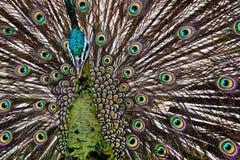 Pájaro del pavo real Imagen de archivo