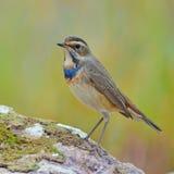 Pájaro del pechiazul Imagen de archivo libre de regalías
