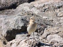 Pájaro del pechiazul Fotos de archivo libres de regalías