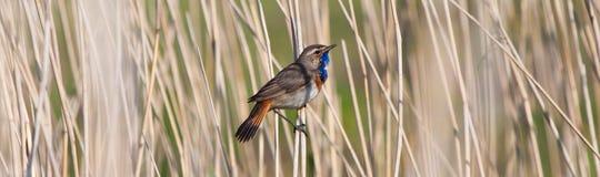 Pájaro del pechiazul en la caña Imagen de archivo libre de regalías