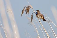 Pájaro del pechiazul en la caña Foto de archivo libre de regalías