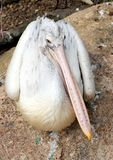 Pájaro del pelícano Foto de archivo