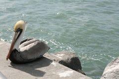 Pájaro del pelícano Imagenes de archivo