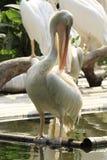 Pájaro del pelícano Imagen de archivo libre de regalías