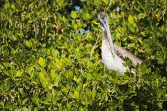 Pájaro del pelícano fotos de archivo libres de regalías