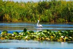 Pájaro del pelícano en el agua Imagenes de archivo