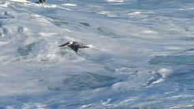 Pájaro del pelícano que vuela bajo sobre una ola oceánica en la cámara lenta almacen de video