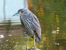Pájaro del pescador Fotos de archivo libres de regalías