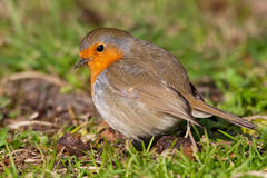 Pájaro del petirrojo Fotos de archivo