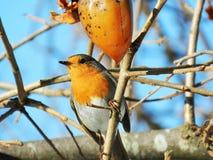 Pájaro del petirrojo Fotografía de archivo