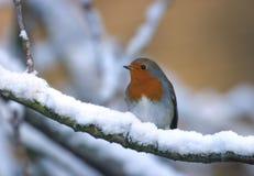 Pájaro del petirrojo en árbol de la nieve del invierno Imagen de archivo