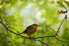 Pájaro del petirrojo en la ramificación seca Fotografía de archivo