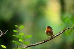 Pájaro del petirrojo en la ramificación seca Fotos de archivo