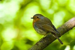 Pájaro del petirrojo en rama Fotografía de archivo