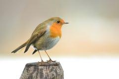 Pájaro del petirrojo en un polo Imagen de archivo libre de regalías