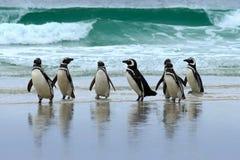 Pájaro del pingüino de Magellan, de agua tres en el océano, natación y salto en el mar, Falkland Island El mar agita con los pája imagen de archivo libre de regalías