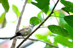 Pájaro del pinzón de Bichenos en rama de árbol Imagen de archivo