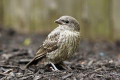 Pájaro del pinzón de casa del bebé Fotografía de archivo libre de regalías