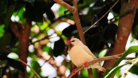 pájaro del pinzón de la Eje-cola Fotografía de archivo libre de regalías