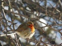 Pájaro del pinzón en un día escarchado anaranjado, mullido, plumas Foto de archivo