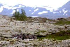 Pájaro del Pipit de prado en tundra islandesa Foto de archivo