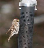 Pájaro del Redpoll imagen de archivo libre de regalías