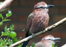 Pájaro del rodillo Fotos de archivo libres de regalías