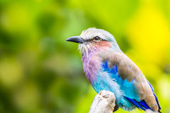 Pájaro del rodillo de Breasted de la lila Foto de archivo libre de regalías