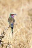 Pájaro del rodillo de Breasted de la lila en Tanzania foto de archivo libre de regalías