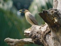 Pájaro del salki de Baman fotografía de archivo libre de regalías