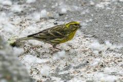 Pájaro del serinus del Serinus apenas llevado fotos de archivo