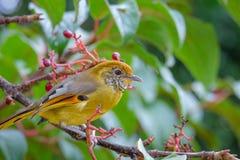 Pájaro del strigula de Minla en la naturaleza de Tailandia Foto de archivo
