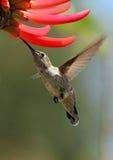Pájaro del tarareo Fotografía de archivo