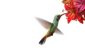 Pájaro del tarareo almacen de metraje de vídeo