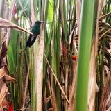 Pájaro del tarareo Fotos de archivo