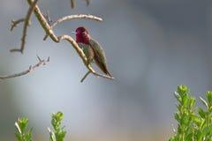 Pájaro del tarareo de Allens fotos de archivo libres de regalías