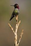 Pájaro del tarareo de Anna's que se sienta en el top del árbol Fotografía de archivo libre de regalías
