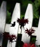 Pájaro del tarareo en Beebalm Imágenes de archivo libres de regalías