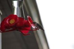 Pájaro del tarareo en el alimentador Imagenes de archivo