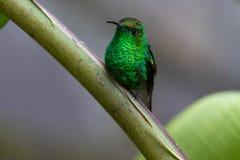 Pájaro del tarareo en el parque nacional de Monteverde Foto de archivo libre de regalías