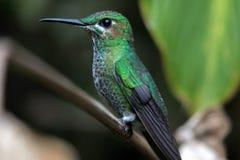 Pájaro del tarareo en el parque nacional de Monteverde Fotografía de archivo libre de regalías