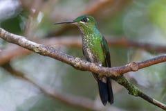 Pájaro del tarareo en el parque nacional de Monteverde Imagen de archivo