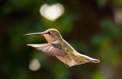 Pájaro del tarareo en mediados de aire Foto de archivo libre de regalías