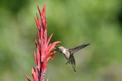 Pájaro del tarareo en vuelo Fotografía de archivo