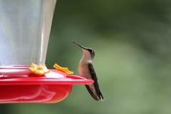 Pájaro del tarareo encaramado en alimentador Fotos de archivo libres de regalías